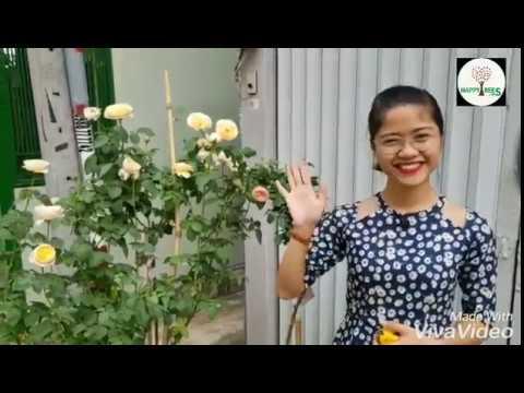 Sự khác biệt hoa hồng masora và hoa hồng juliet
