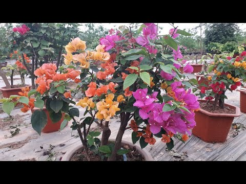 Tạo cây hoa giấy nhiều màu không ghép cành
