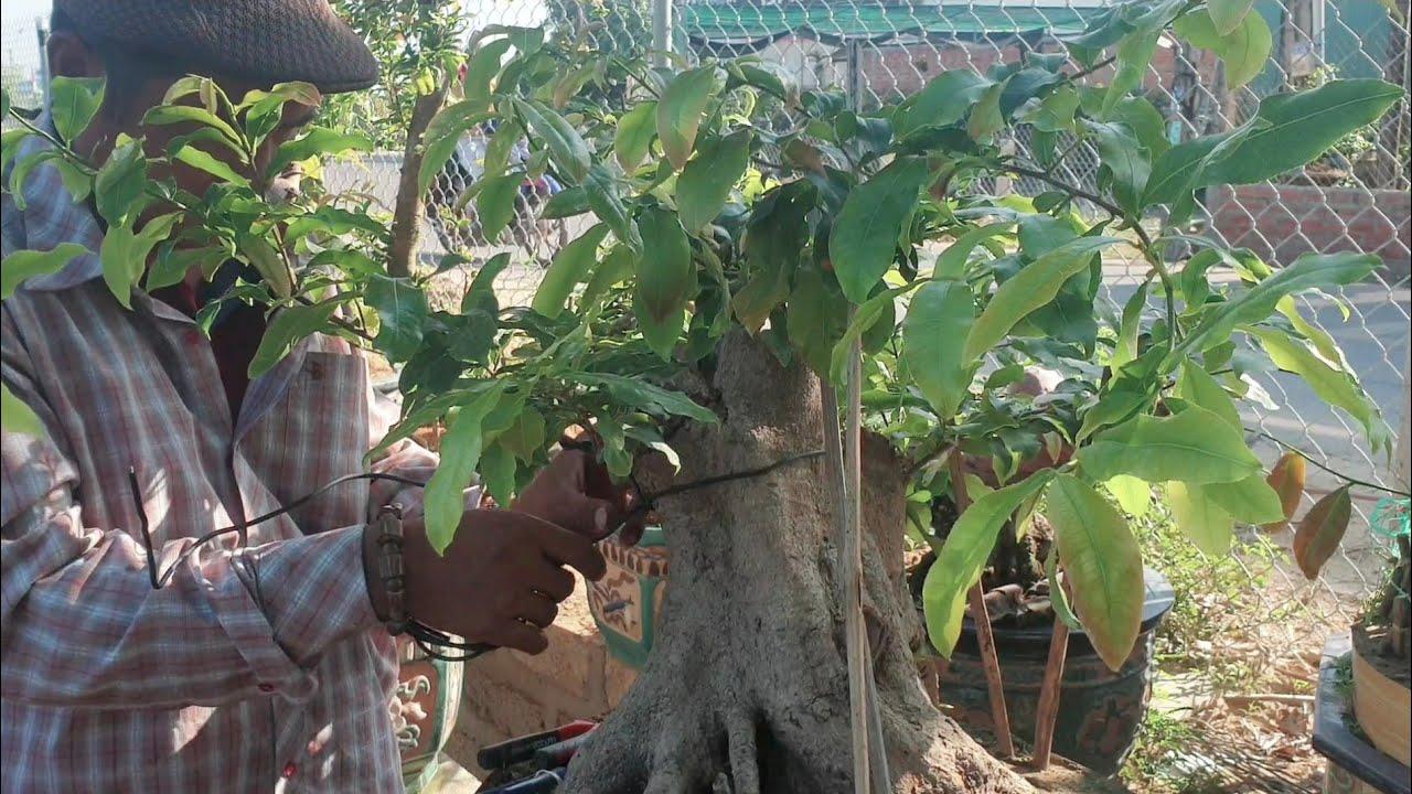 Tạo dáng đơn giản cho gốc mai bonsai khủng