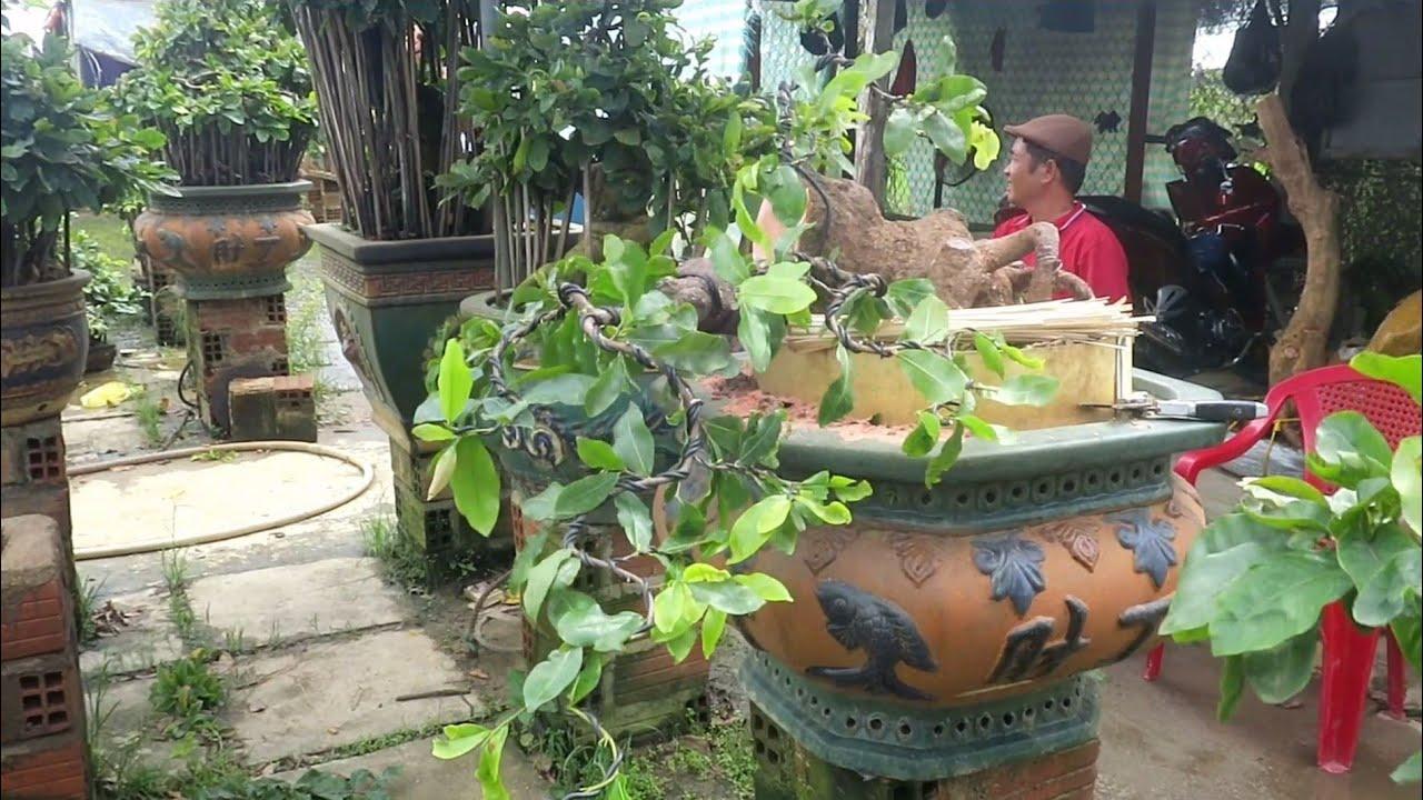 Tạo dáng nước đầu cho gốc mai bonsai khủng (Lê Quý Bonsai)