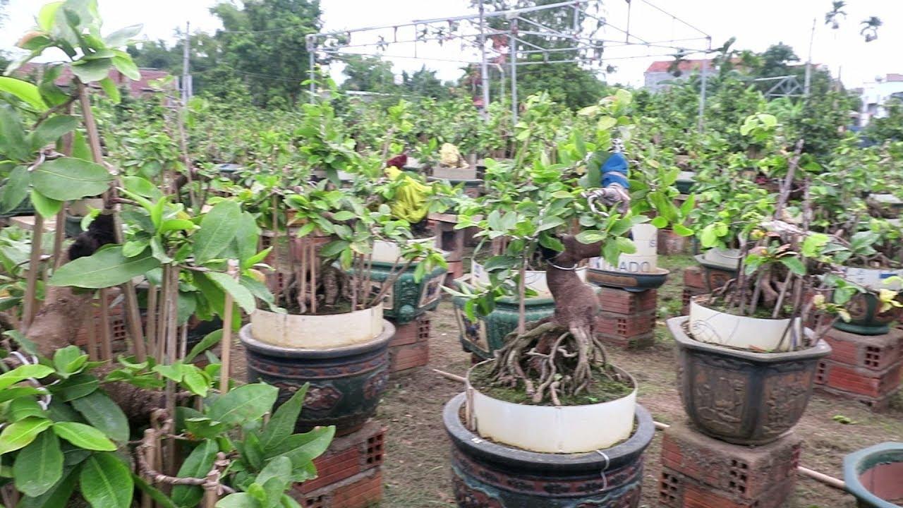 Tham quan mai bonsai đẳng cấp Bình Định (Thanh Liêm,Nhơn An)