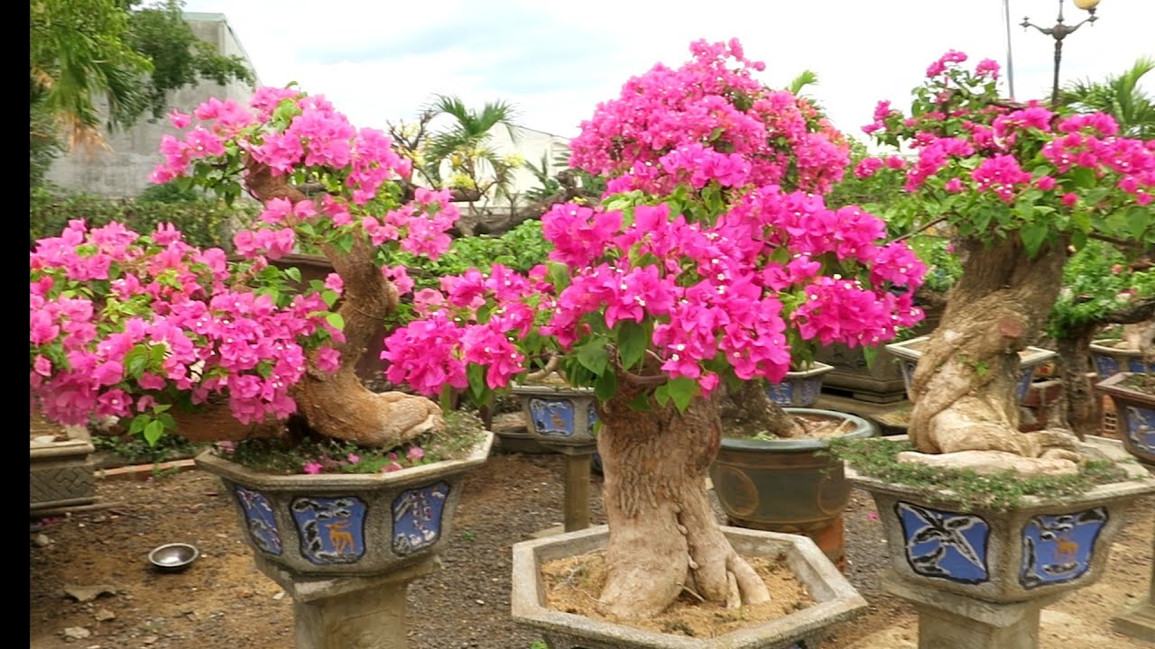 Tham quan vườn bonsai hoa giấy siêu khủng Quang Thiện || Paper garden is very beautiful bonsai