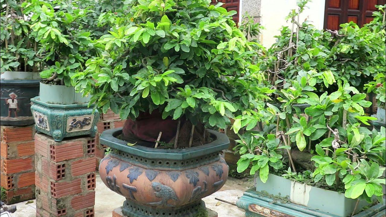 Tham quan vườn mai bonsai chú 3 Lâm và xem chú Quý ghép mầm.