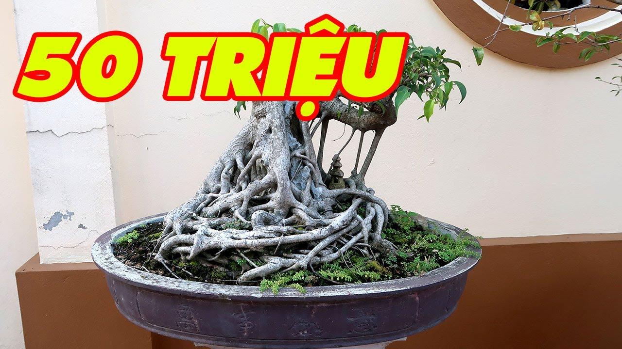 Thăm sân vườn nhà chú Chính ở Bắc Ninh, gặp cây Si Bonsai 50 triệu chú chưa bán
