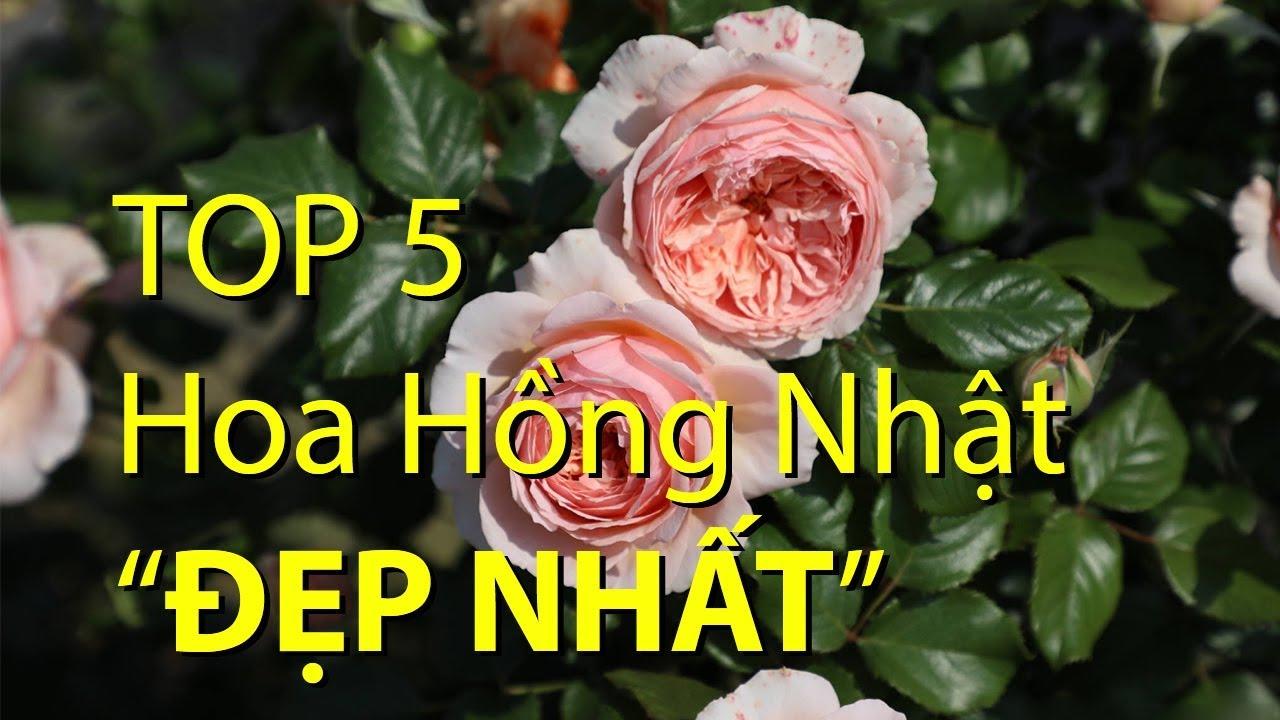 "Top 5 hoa hồng Nhật ""đẹp nhất""   Top 5 the most ""beautiful"" Japan roses"
