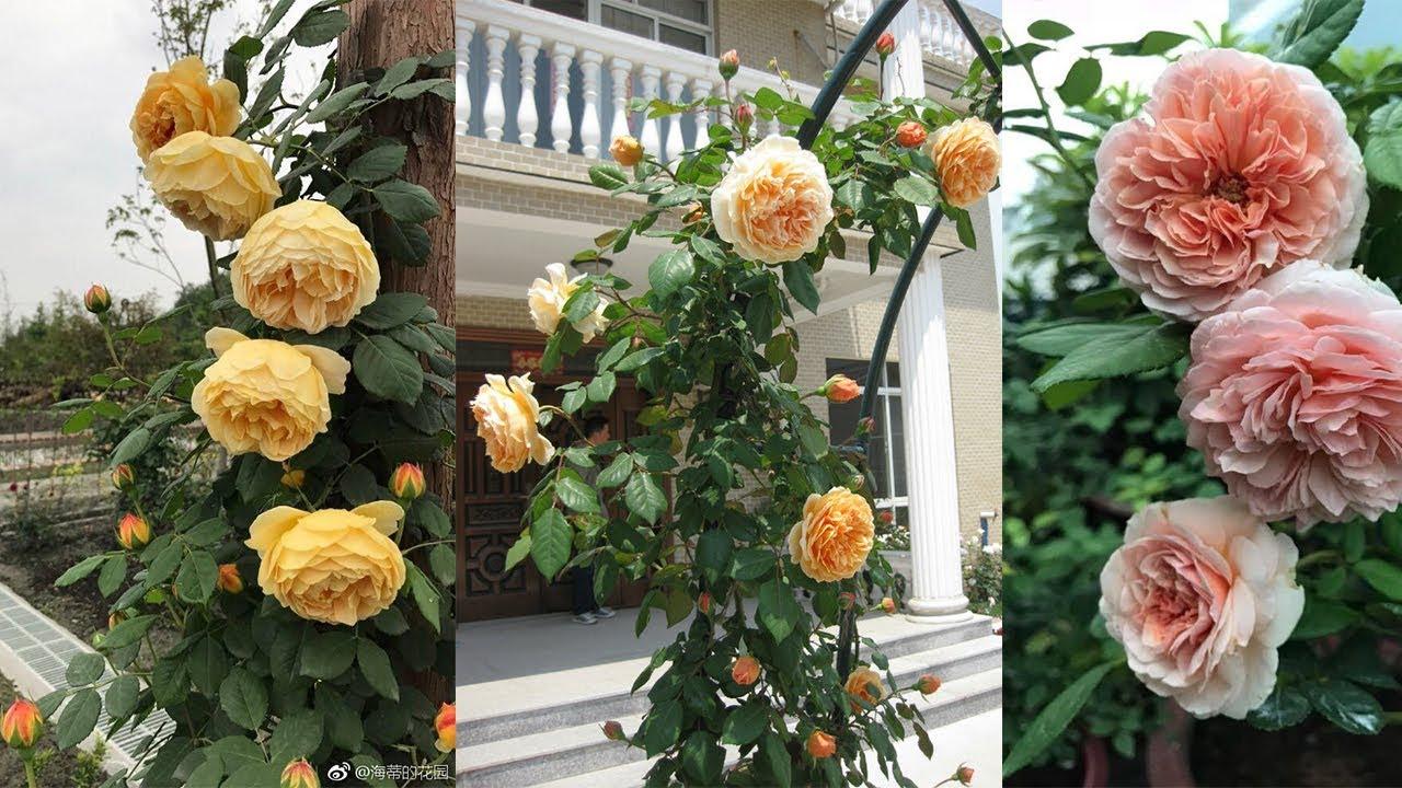 Top 7 hoa hồng leo Anh đẹp nhất | Hoa hồng thơm, siêu chùm, nổi tiếng nhất của David Austin