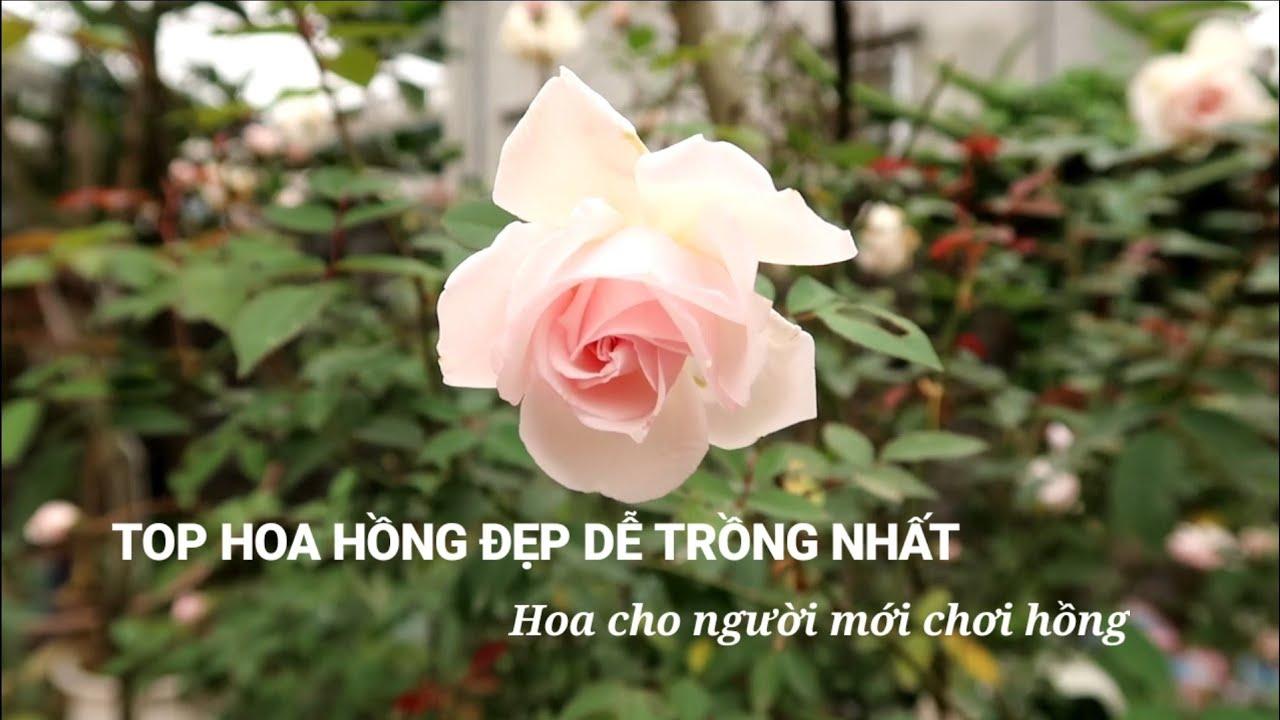Top hoa Hồng đẹp dễ trồng nhất cho người mới chơi hoa