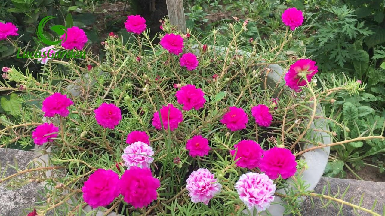 Trồng hoa 10 giờ - Nguyên nhân hoa 10 giờ không ra hoa