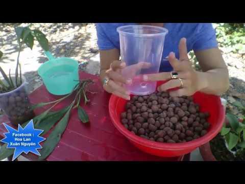 Trồng lan rừng bằng phương pháp bán thủy canh - Sổ tay hoa lan số 44