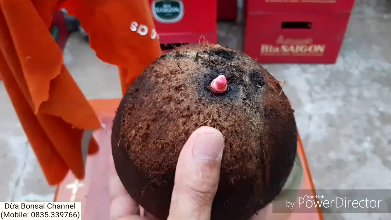 Ươm dừa bonsai bằng nước có kiểu rễ ôm trái