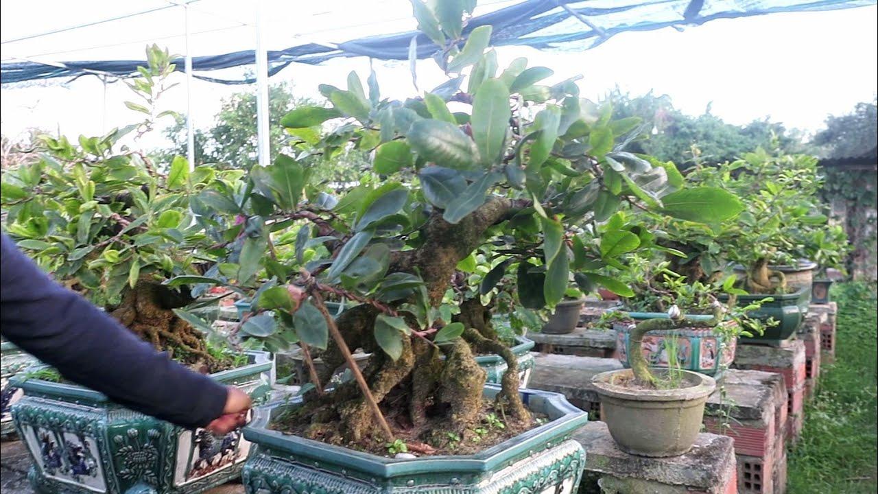 Vườn Mai bonsai hàng độc Bình Định