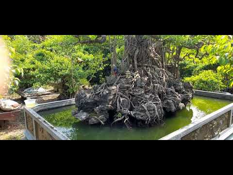 Vườn cây cảnh khủng có liên đài hàng trăm năm tuổi | Nga Kẹo Còi