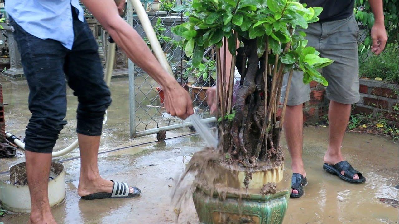 Xả be cho mai bonsai chân dài ngày mưa Bình Định