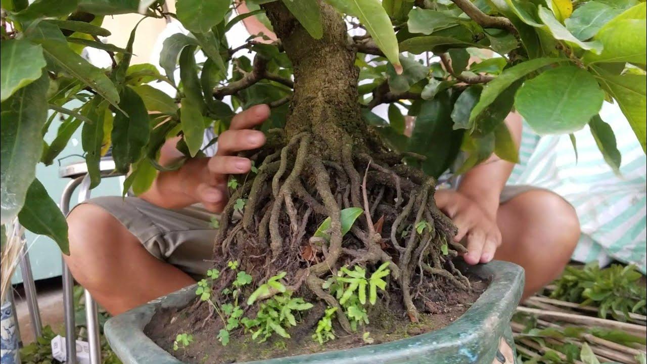 Xem cây mai bonsai chú Quý làm 4 năm đã được tháo ghim tre