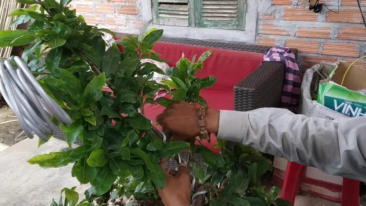 Xem chú Quý dựng ngọn cho chậu mai bonsai khi cành quá to.