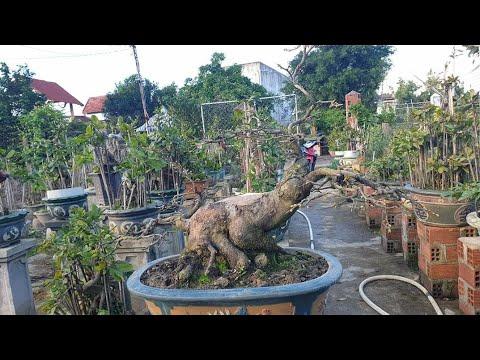 Xuống lá sớm vài gốc mai bonsai chân dài