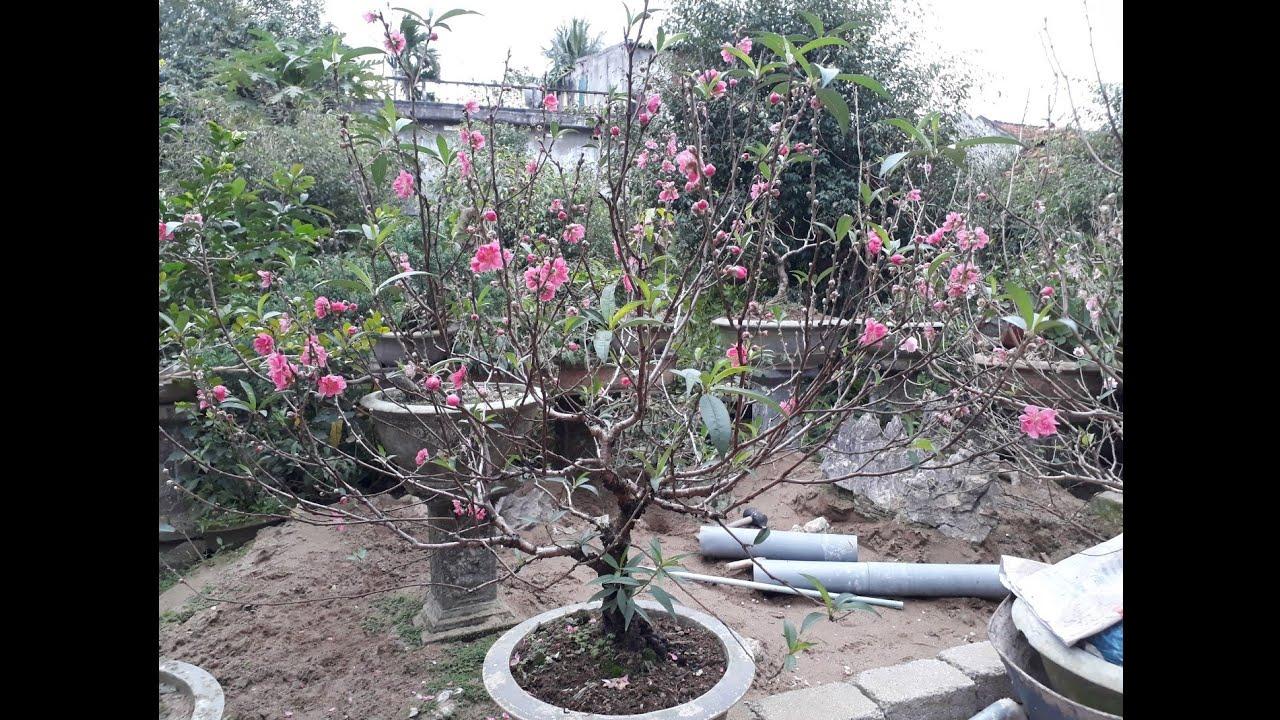 cách làm cho đào nở đúng tết - How to make peach blossoms bloom on Tet holiday