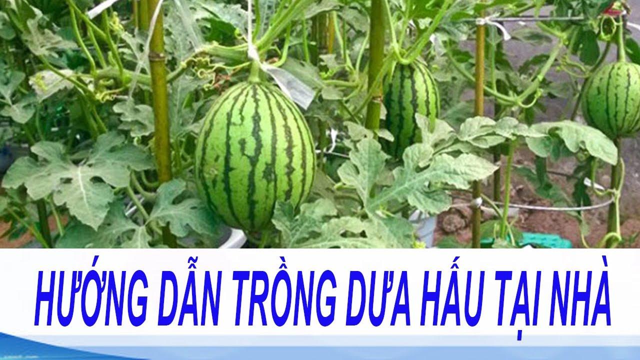 hướng dẫn trồng dưa hấu tại nhà