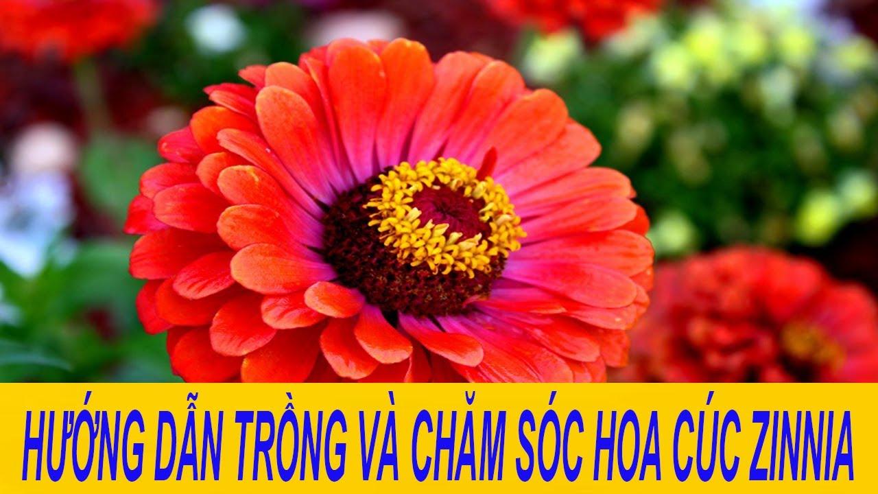 hướng dẫn trồng hoa cúc zinnia
