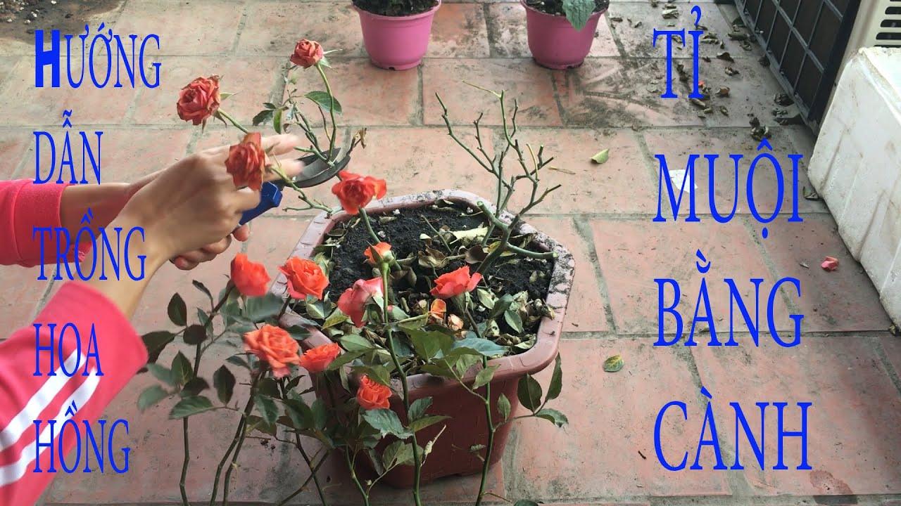 hướng dẫn trồng hoa hồng tỉ muội bằng cành