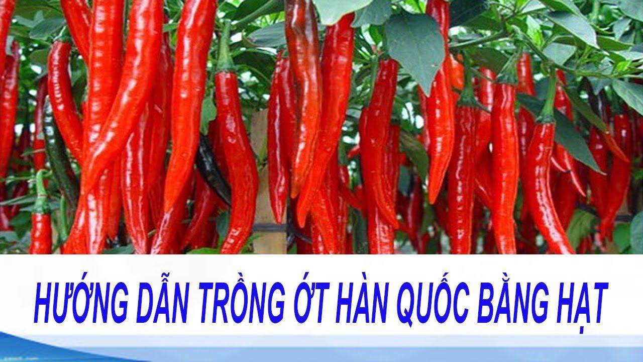 hướng dẫn trồng ớt hàn quốc bằng hạt