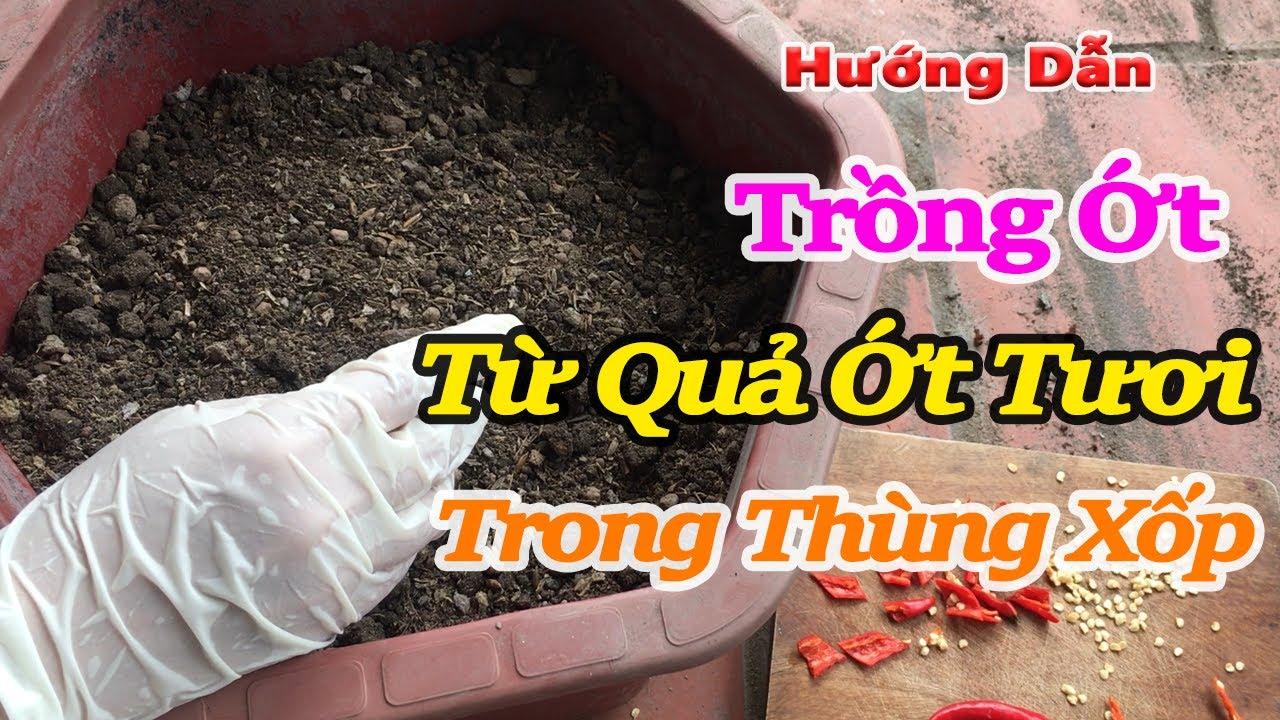 hướng dẫn trồng từ quả ớt tươi trong thùng xốp