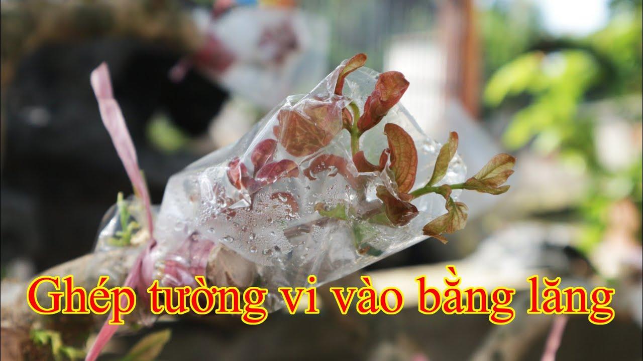 ky-thuat-ghep-tuong-vi-vao-bang-lang-va-ket-qua-sau-15-ngay