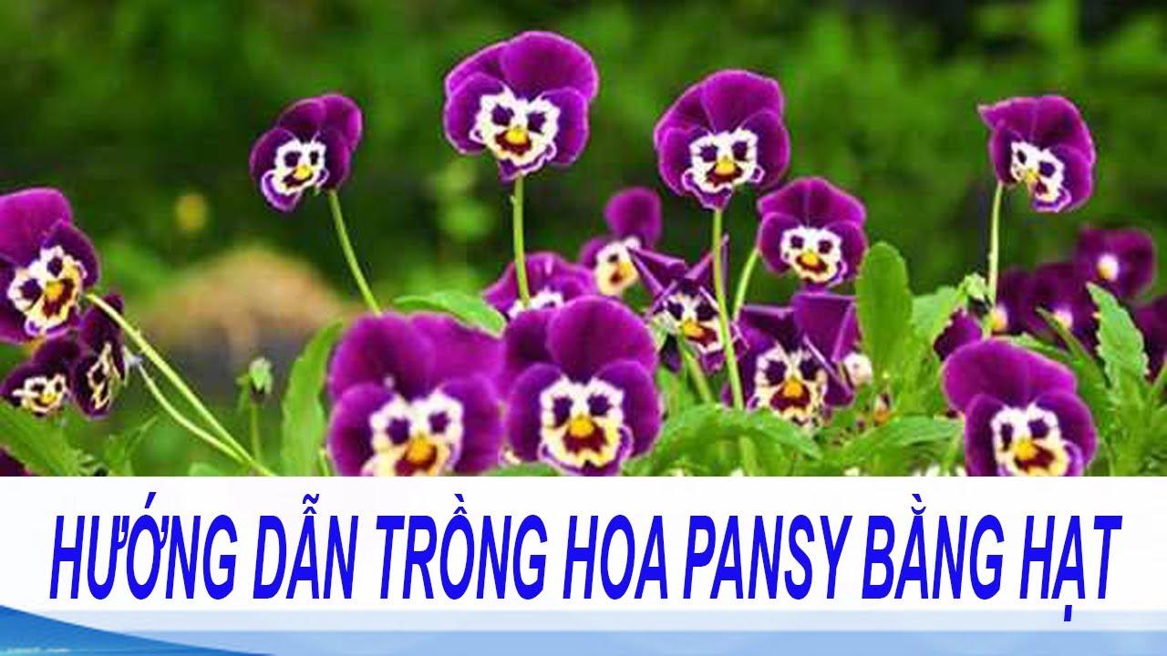 kỹ thuật trồng hoa pansy bằng hạt