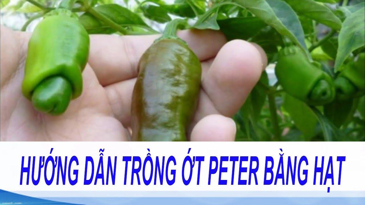 kỹ thuật trồng ớt peter trong thùng xốp