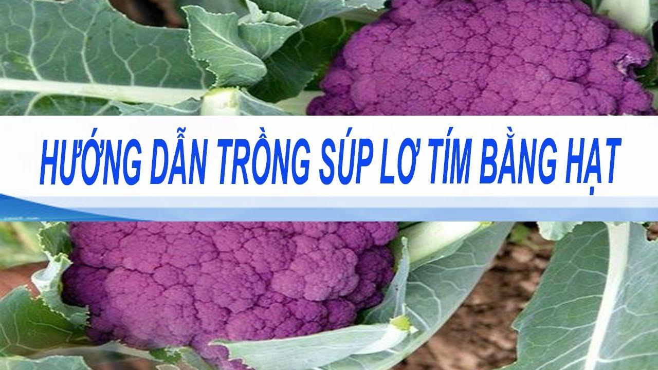 kỹ thuật trồng súp lơ tím bằng hạt