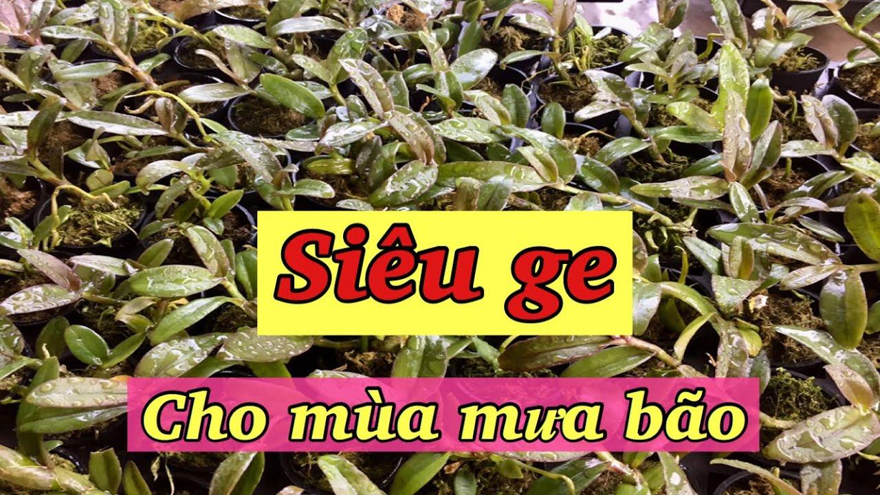 siêu phân bón ge cho hoa lan mùa mưa bão - sổ tay hoa lan số 145