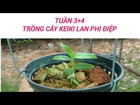 trồng kei hoa lan giả hạc - tuần 3-4 - sổ tay hoa lan số 26