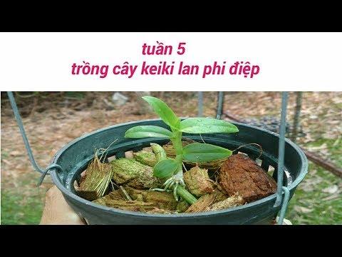 trồng kei hoa lan giả hạc - tuần 5 - sổ tay hoa lan số 29