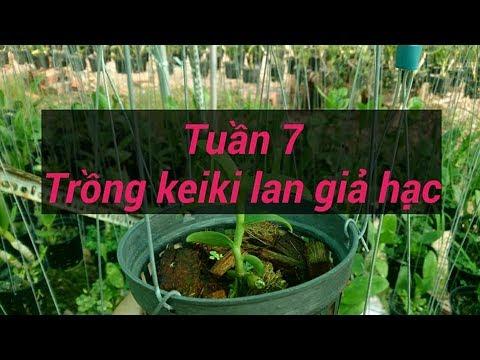 trồng kei hoa lan giả hạc - tuần 7 - sổ tay hoa lan số 41