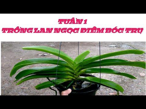 trồng lan Ngọc Điểm bóc trụ - tuần 1 - sổ tay hoa lan số 19