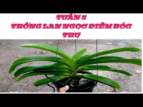 trồng lan Ngọc Điểm bóc trụ - tuần 5 - sổ tay hoa lan số 28