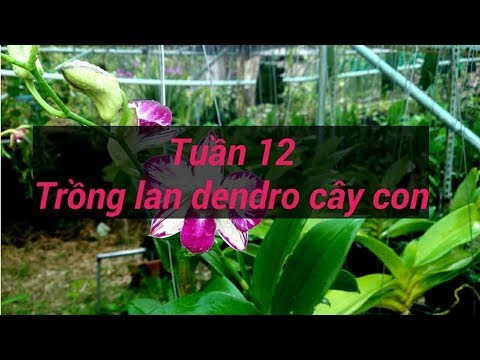 tuần 12 - trồng lan dendro - sổ tay hoa lan số 42