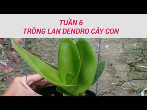 tuần 6 - trồng lan dendro - sổ tay hoa lan số 18