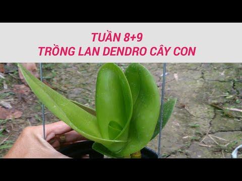 tuần 8-9 - trồng lan dendro - sổ tay hoa lan số 24