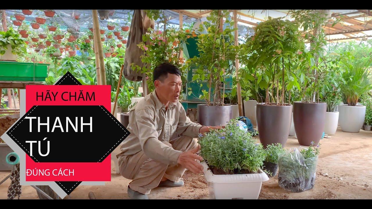 1. Hướng dẫn trồng và chăm sóc Cây Thanh Tú - Phần1 - Cây cảnh Chợ Hàng