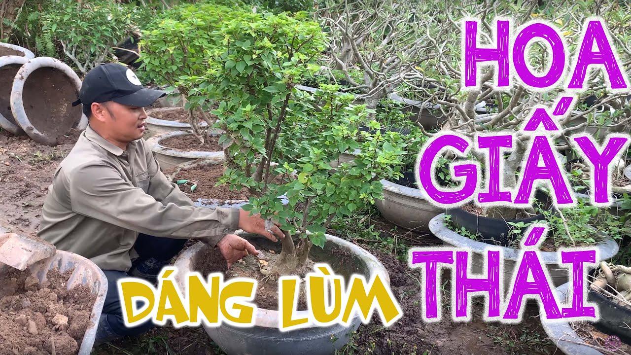 14. Trồng cây Hoa Giấy Thái dáng lùm tại vườn (Phần 1) - Cây cảnh Chợ Hàng