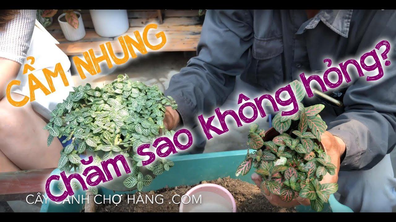 156. Cây Cẩm nhung để bàn - Hướng dẫn trồng và chăm sóc - Cây cảnh Chợ Hàng