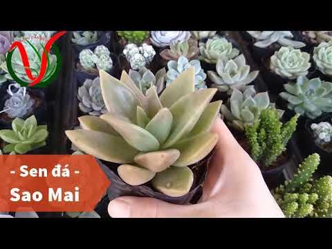 Vuki Garden| Tên các loại sen đá | Sen đá sao mai (Types of succulents)
