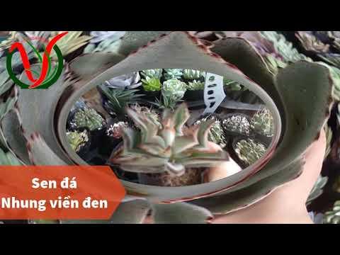 Vuki Garden| Tên các loại sen đá | Sen đá nhung viền đen (Types of succulents)