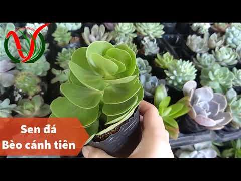 Vuki Garden - Các loại sen đá - Sen đá bèo cánh tiên (Types of succulents - Portulaca molokiniensis)