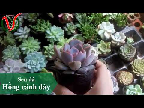 Vuki Garden| Tên các loại sen đá | Sen đá hồng cánh dày (Types of succulents )