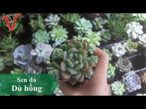 Vuki Garden| Tên các loại sen đá | Sen đá dù hồng (Types of succulents)