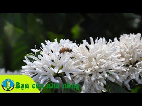 Kinh nghiệm, kỹ thuật chăm sóc cây cà phê (cafe) khi ra hoa