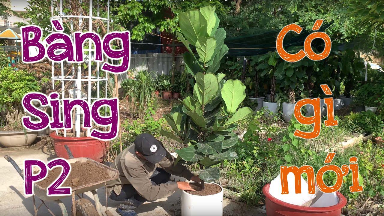 17. Hướng dẫn trồng và chăm sóc cây Bàng Singapore (Phần 2) - Cây cảnh Chợ Hàng
