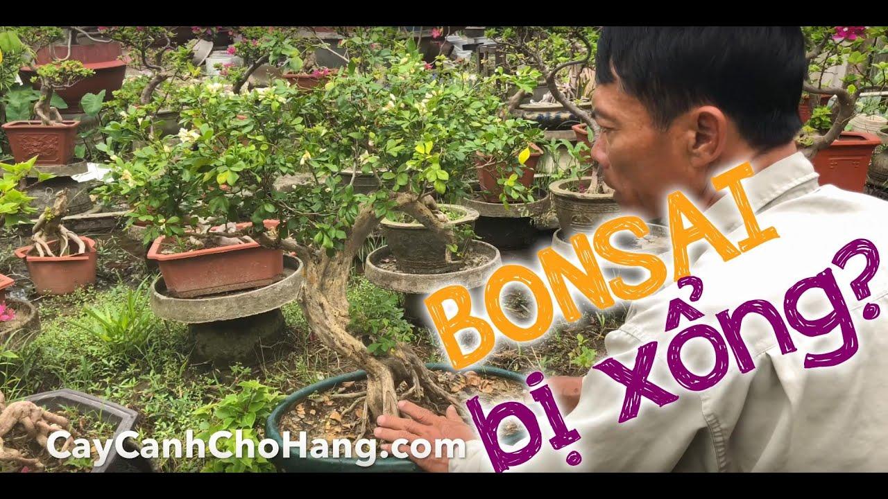 187. Cây Nguyệt quế bonsai bị xổng sửa lại như thế nào cho đúng? - Cây cảnh Chợ Hàng